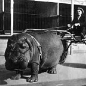 March 1924: Hippo cart